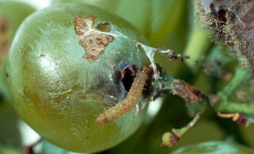 la chauve-souris du vignoble