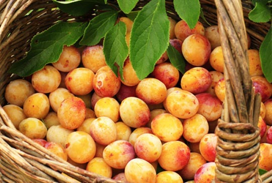 La grande famille des prunes