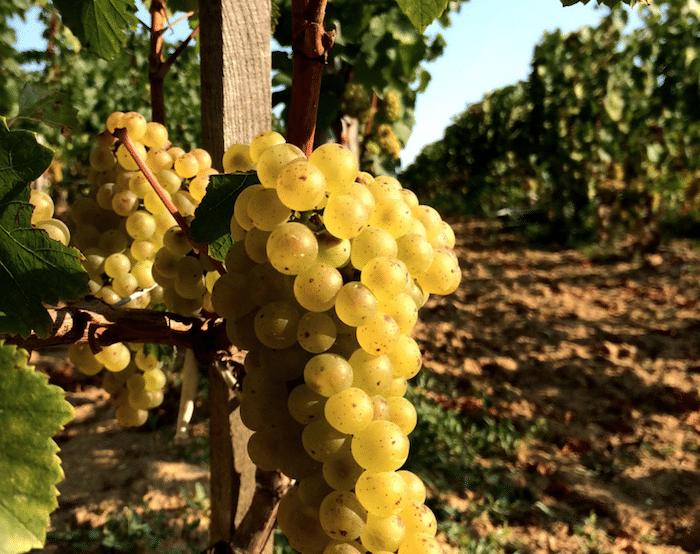 Chardonnay de Saint-Emlion
