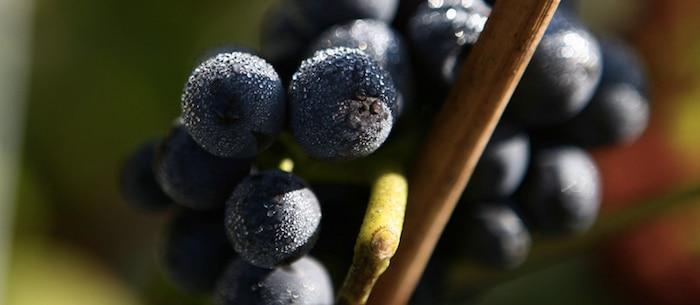 vigne Bollinger