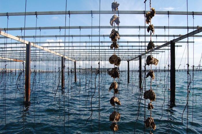 Elevage des huîtres