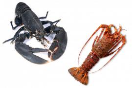 le homard et la langouste