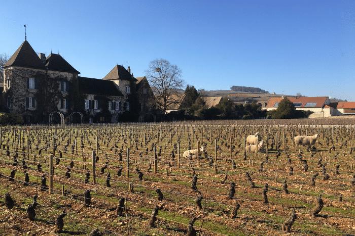 Des moutons dans les vignes en Bourgogne