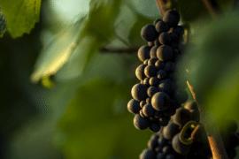 Le millésime 2019 en Bourgogne