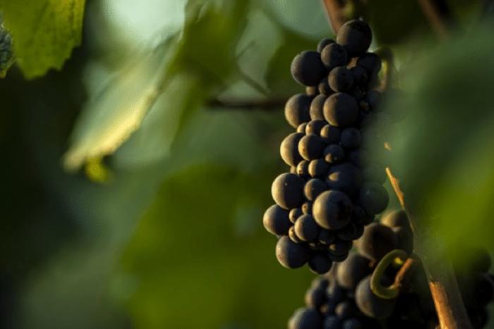 Le millésime 2019 en Bourgogne : gourmandise, fraîcheur et vivacité
